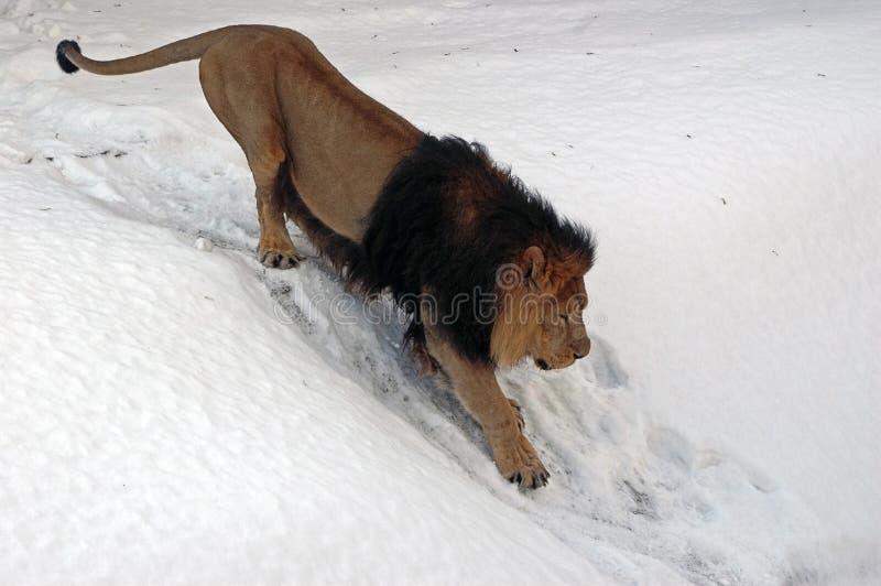 狮子雪 免版税库存照片