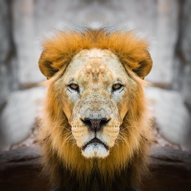 狮子面孔关闭 库存图片