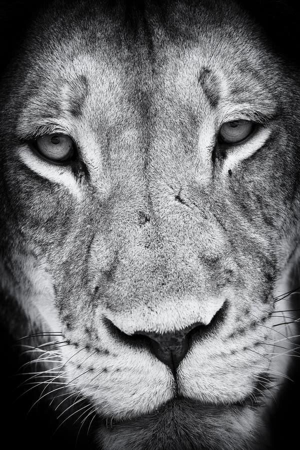 狮子面孔画象的黑白特写镜头 免版税库存照片