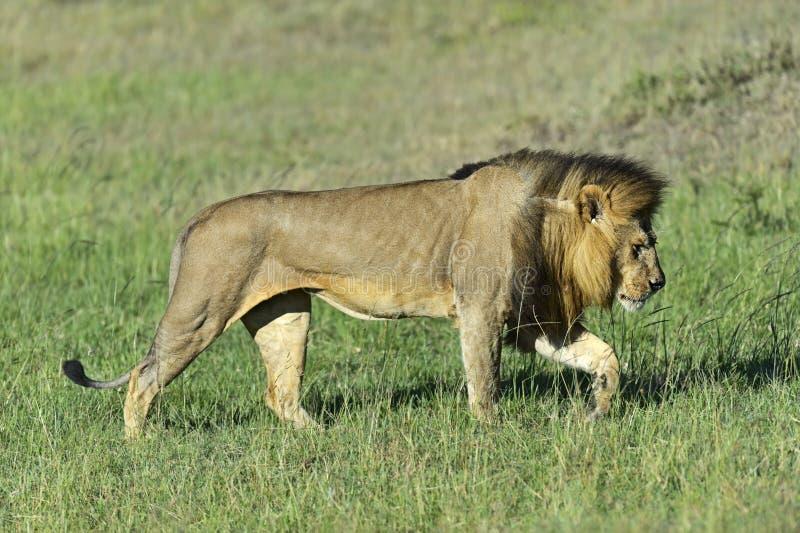 狮子马塞语玛拉 免版税图库摄影