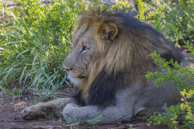 狮子/南非 库存图片