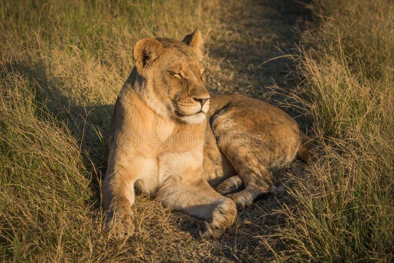 狮子说谎与眼睛闭上在日落 免版税库存照片