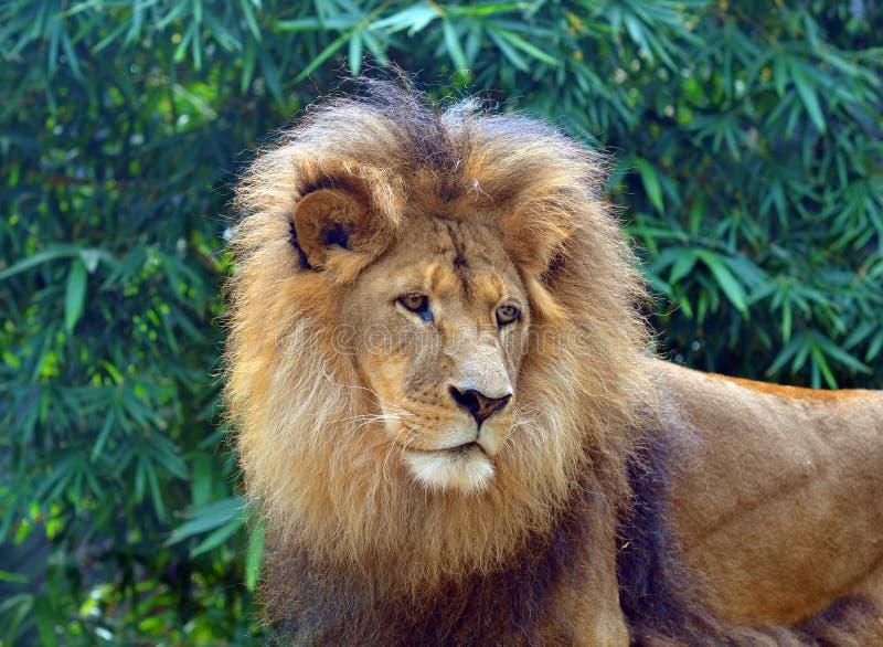 狮子 库存图片