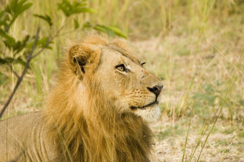 狮子 图库摄影