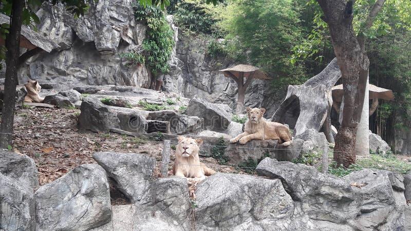狮子 免版税库存照片
