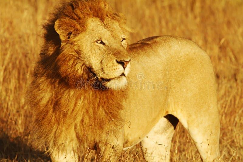 狮子mara马塞语 库存照片
