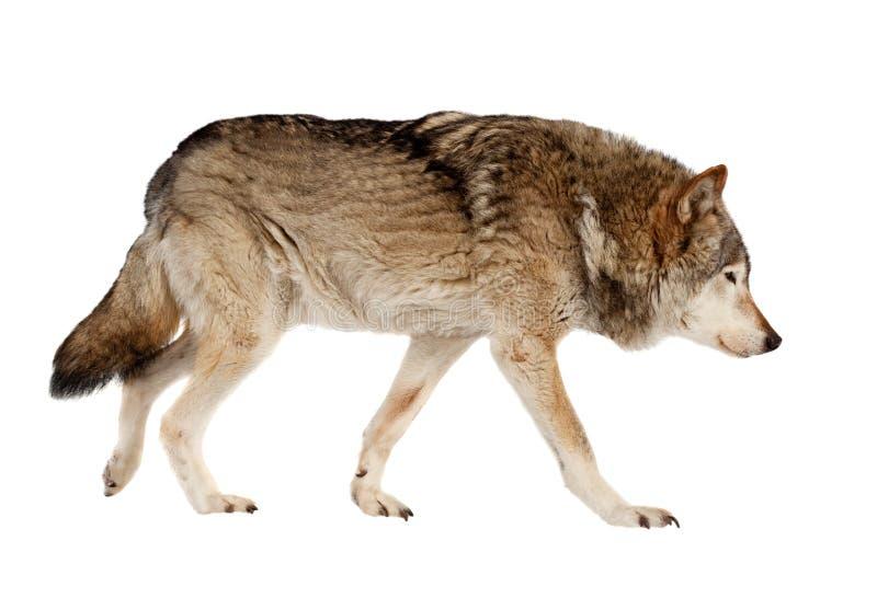 狼。隔绝在白色 库存图片