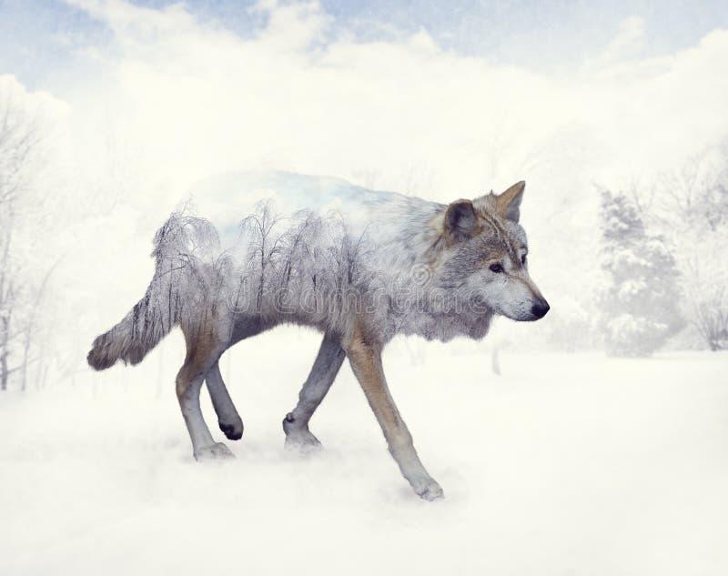 狼两次曝光在冬天 库存图片