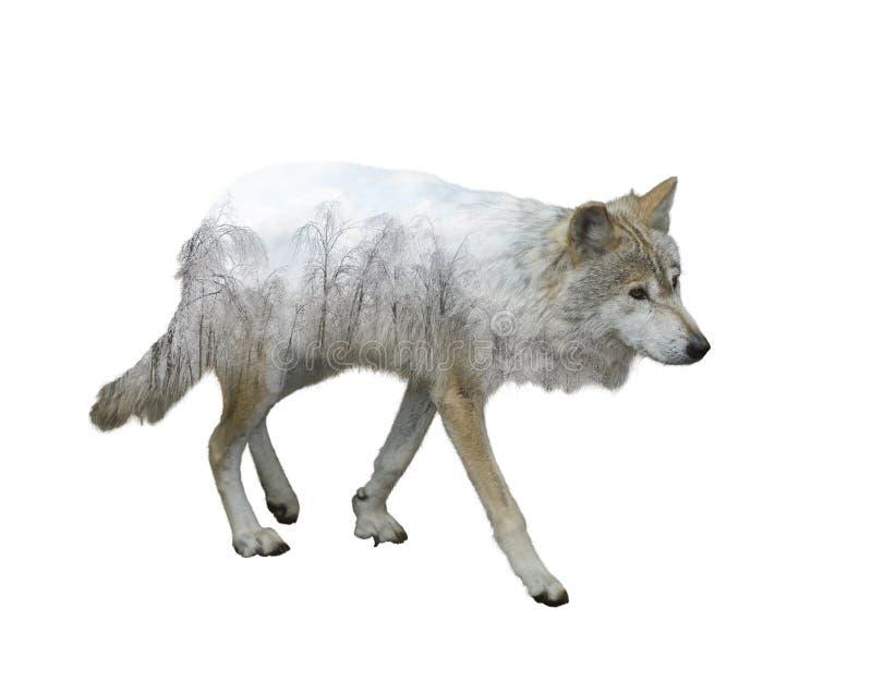 狼两次曝光 库存照片