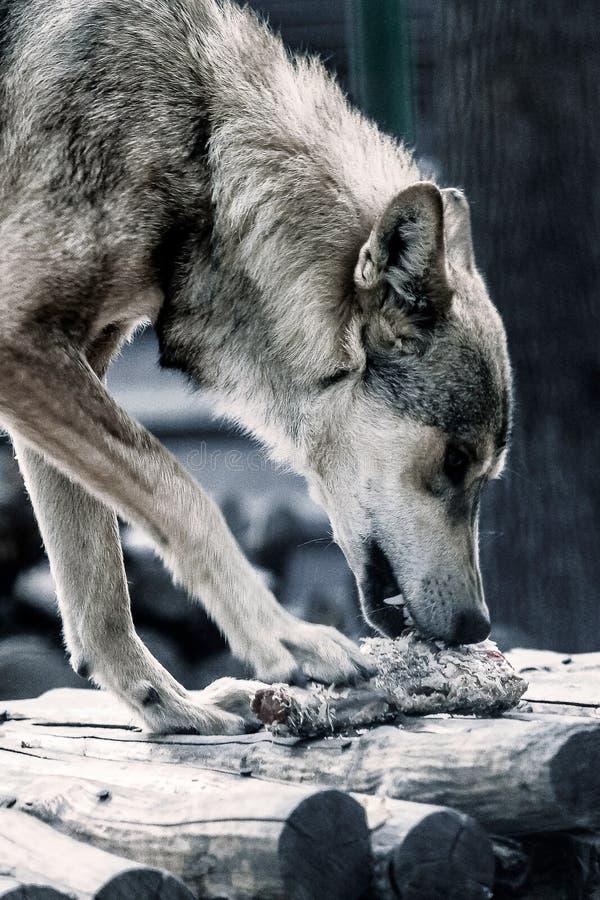 狼吃他的牺牲者 免版税图库摄影