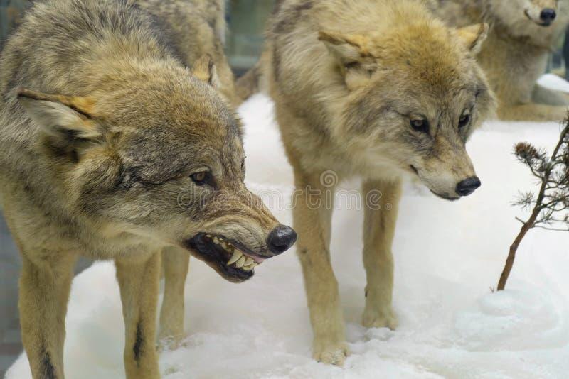 狼在冬天森林里 库存照片