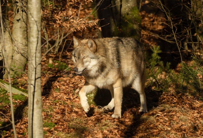 狼在青蛙里,森林摄影照片图片.动物包括有自然,,旅行库存花钱了吗图片
