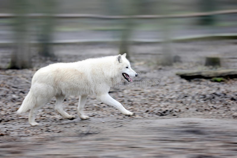 狼在森林里 免版税库存照片