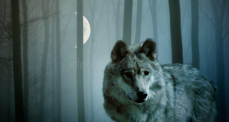 狼在黑暗的森林里 库存照片