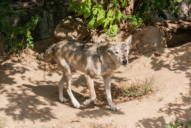 狼有看法 库存图片