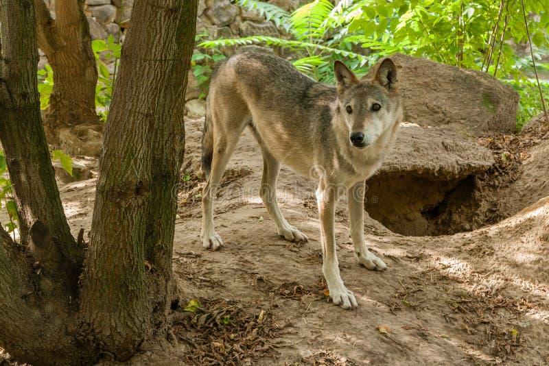 狼有看法 免版税库存照片