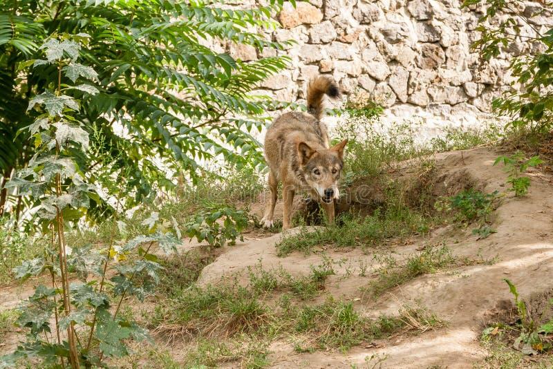 狼有看法 库存照片