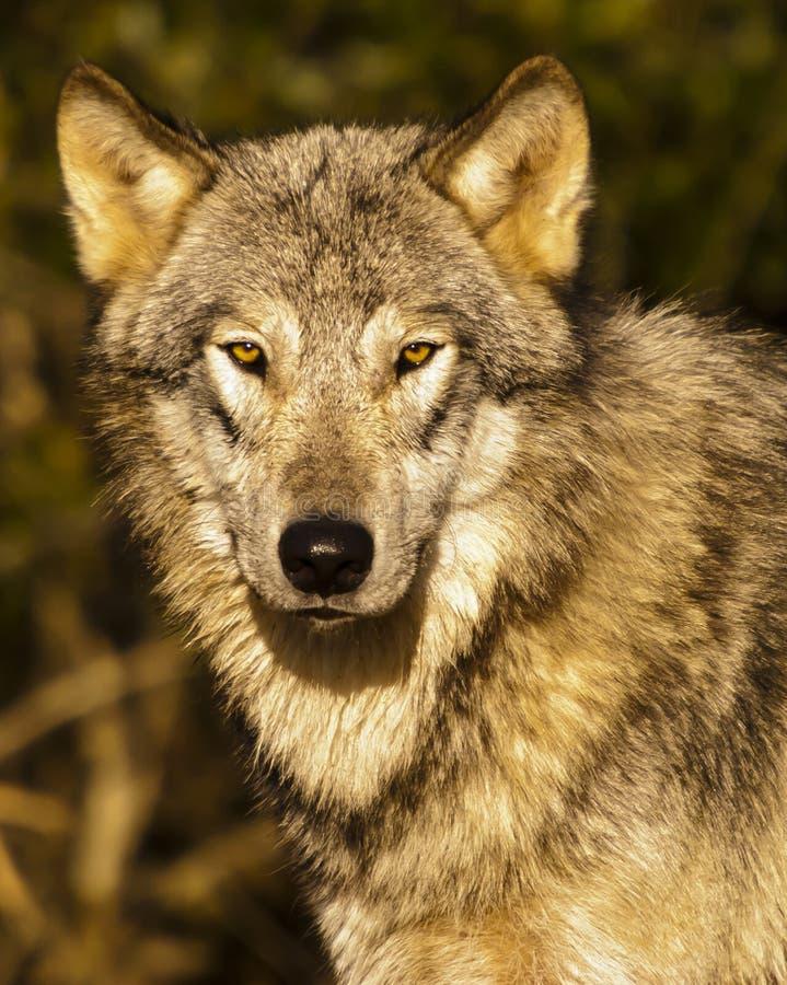 狼的特写镜头画象 免版税库存照片