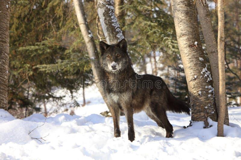 黑狼美丽的眼睛 免版税图库摄影