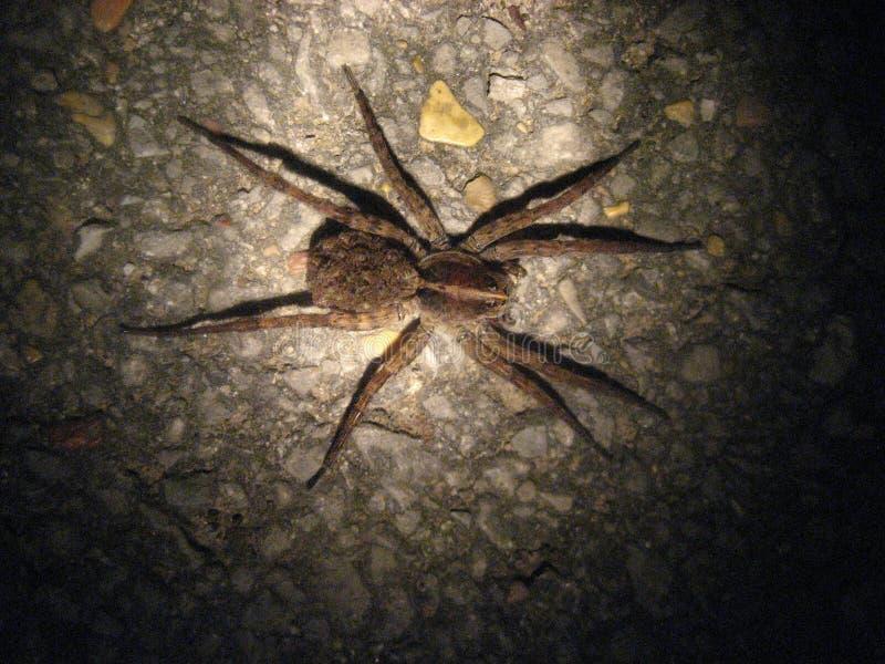 狼蛛在密西西比北部 免版税库存图片