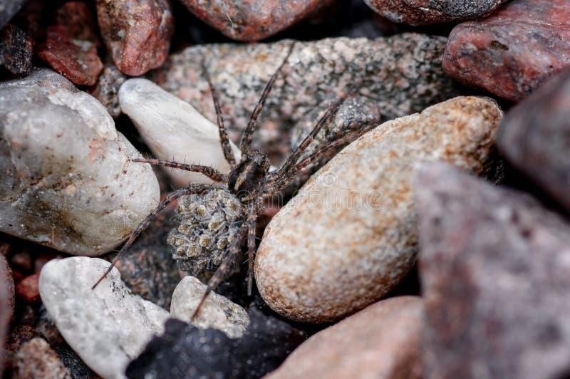 狼蛛,运载在她的后面的Lycosidae年轻Spiderlings通过海岸的石地形 库存图片