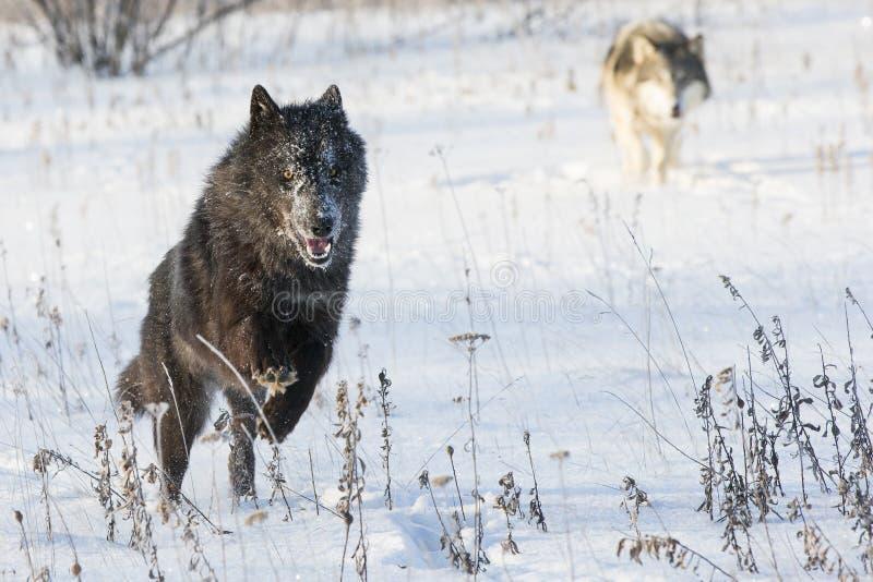 黑狼赛跑 图库摄影