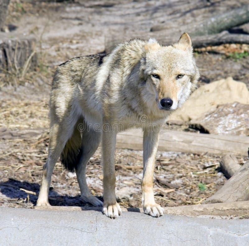狼食肉动物的哺乳动物的标志组装犬 免版税库存图片