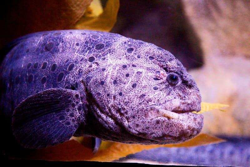 狼鳗鱼 库存图片