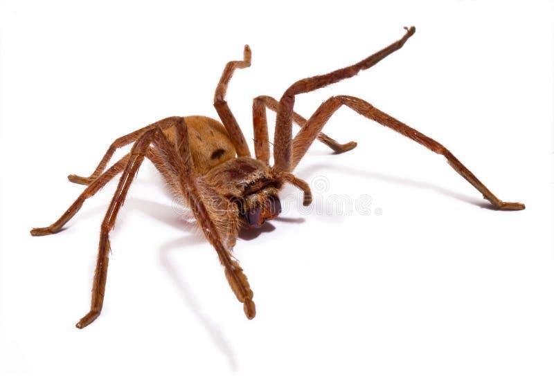 猎人查出的蜘蛛 免版税库存照片