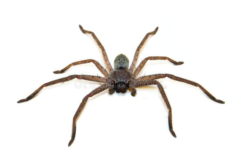 猎人蜘蛛 库存照片