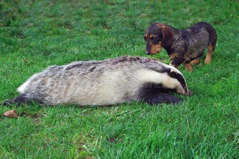 猎人 与獾的达克斯猎犬 免版税库存图片
