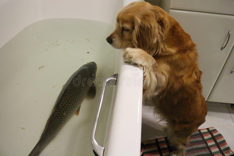 猎犬和鲤鱼在浴 免版税库存照片