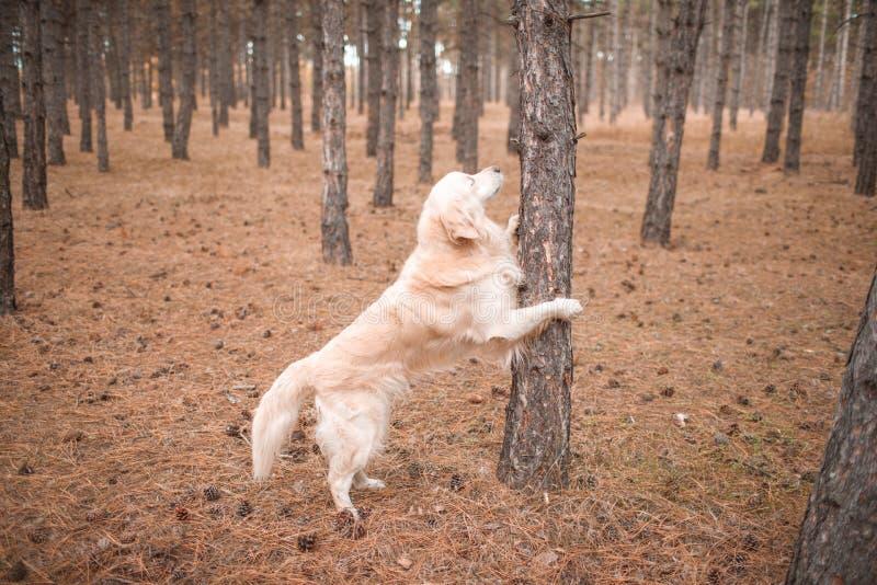 猎犬在秋天森林休息了他的在树的爪子 免版税库存照片