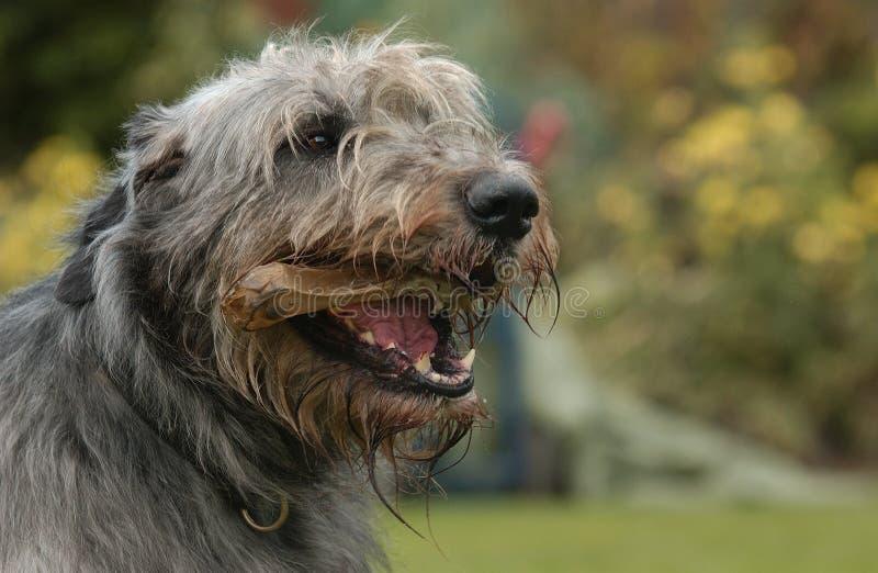 猎狼犬成人 免版税图库摄影