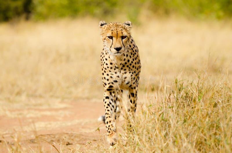 猎豹。南非,克留格尔国家公园 免版税库存照片