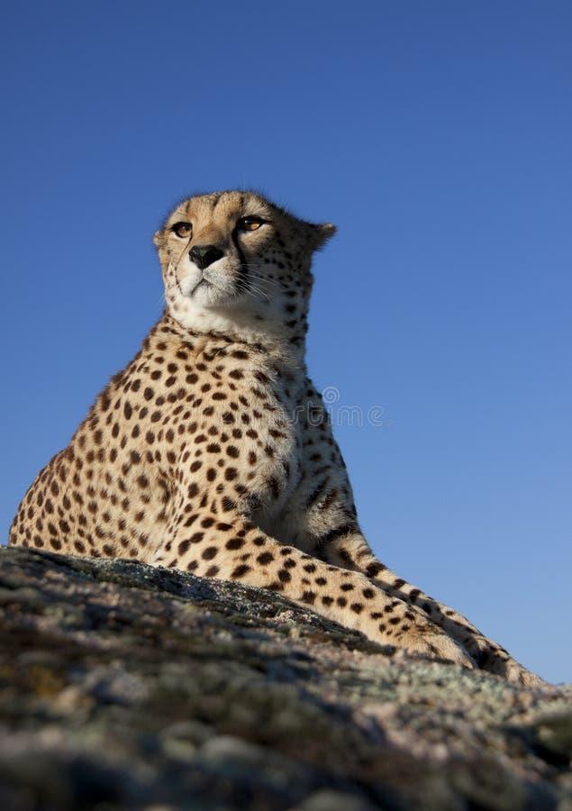 猎豹位于的岩石 库存照片