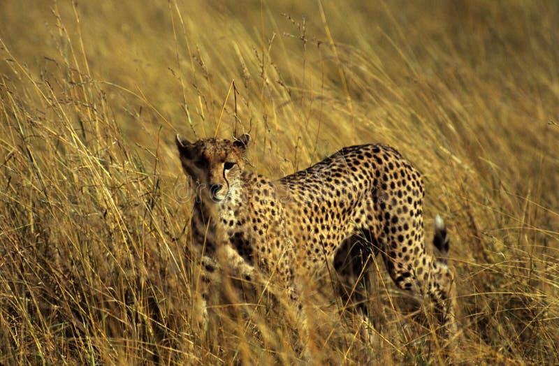 猎豹偷偷靠近 库存图片