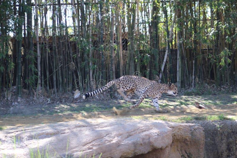 猎豹冲刺的转动 免版税库存照片