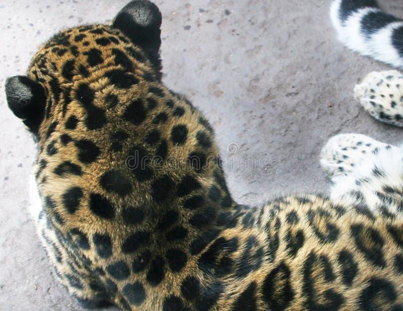 猎豹后面显示的毛皮和耳朵 免版税库存照片
