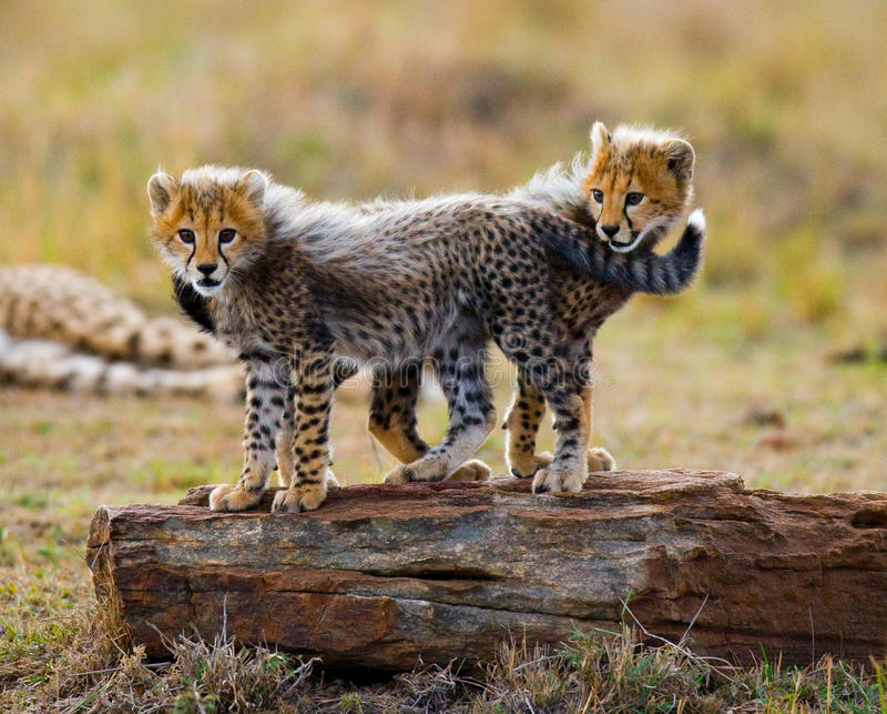 猎豹在大草原当幼童军互相的戏剧 肯尼亚 坦桑尼亚 闹事 国家公园 serengeti 马赛马拉 免版税库存照片