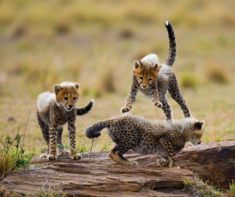 猎豹在大草原当幼童军互相的戏剧 肯尼亚 坦桑尼亚 闹事 国家公园 serengeti 马赛马拉 免版税库存图片