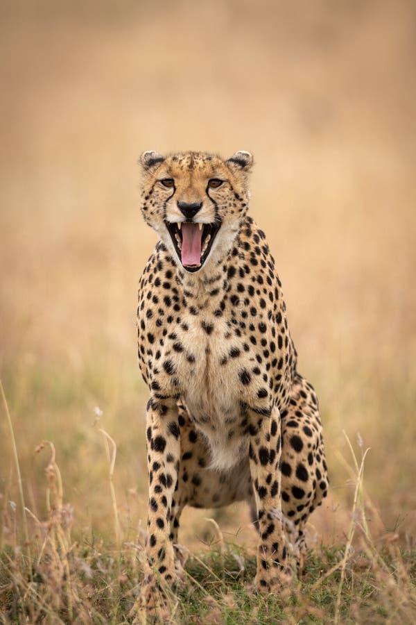 猎豹在广泛打呵欠长的草坐 免版税库存图片