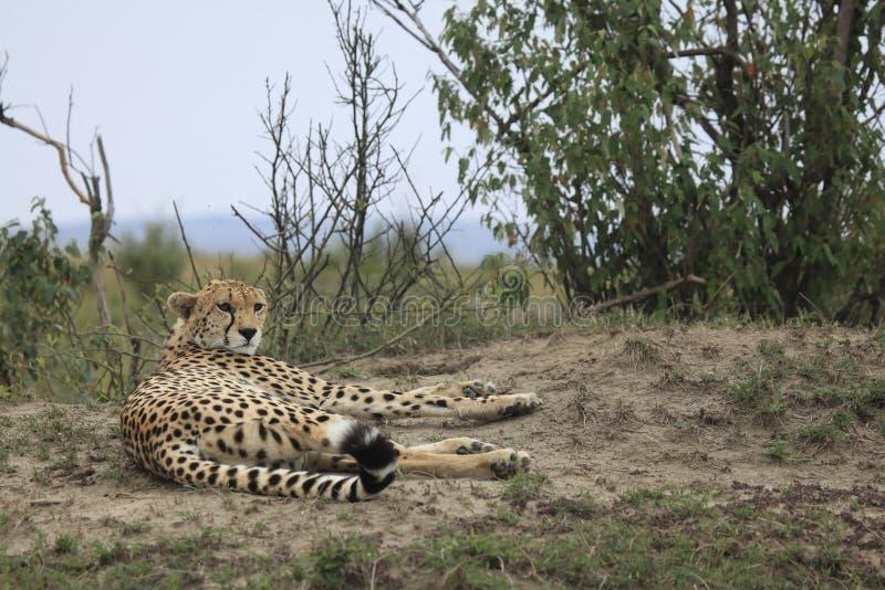 猎豹在肯尼亚 库存图片