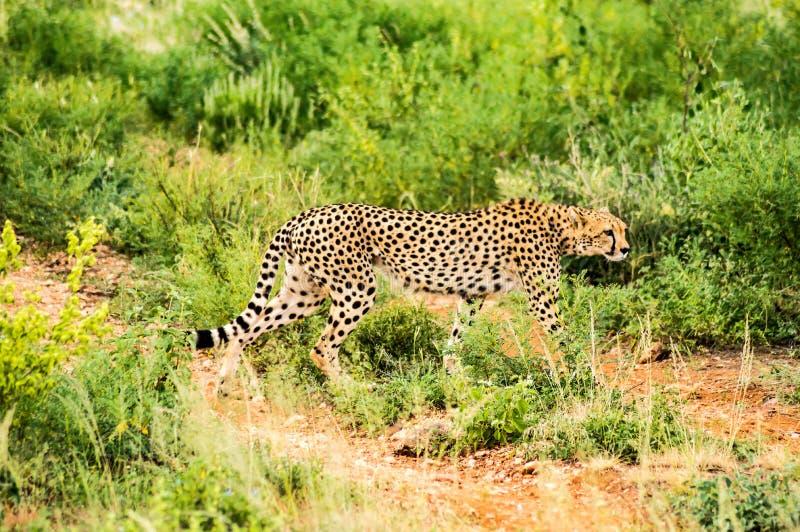 猎豹在草原上行走 库存照片