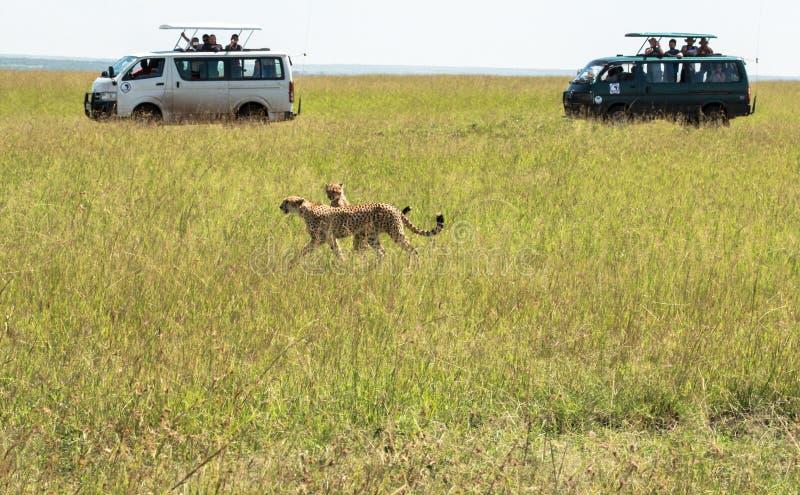 猎豹在马赛马拉,肯尼亚 库存照片