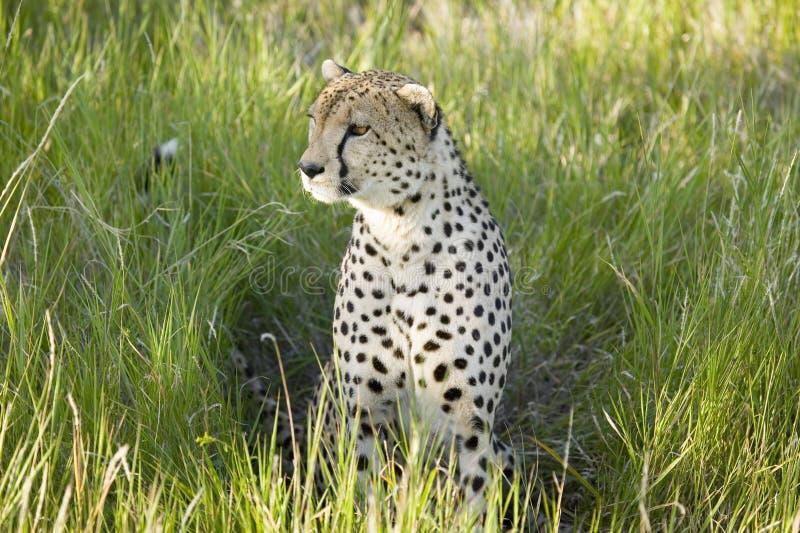 猎豹在Lewa野生生物管理深绿草,北部肯尼亚,非洲坐 免版税库存照片