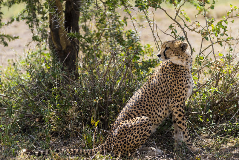 猎豹坐在树下的,塞伦盖蒂,坦桑尼亚 库存照片