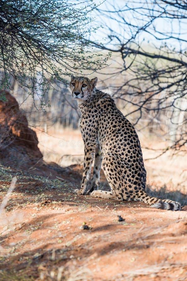 猎豹坐在树盖子下在猎豹农场 库存图片