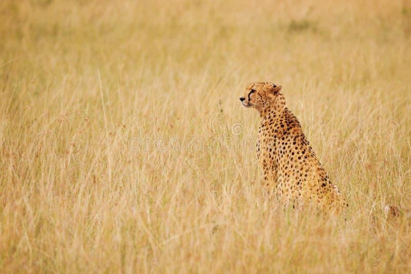 猎豹坐在长的干草的,肯尼亚 库存照片