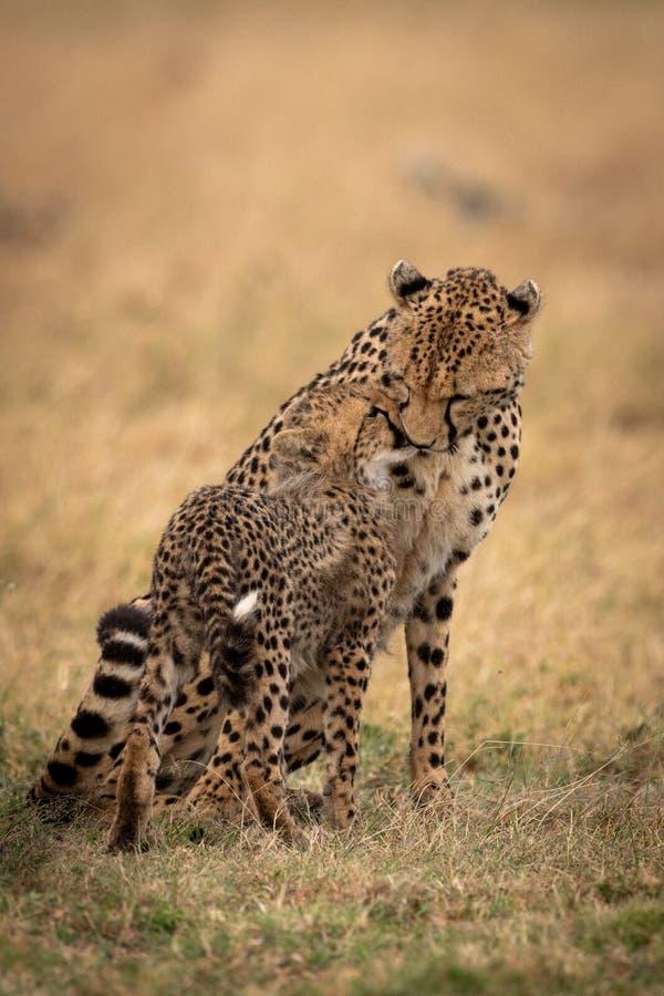 猎豹坐并且鼻插入在草的崽 库存照片